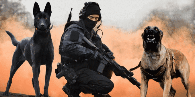 Top 10 Ultimate Military Dogs and Police Dogs Breed